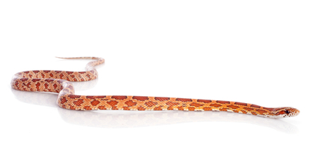 corn snake, elaphe guttata in front of white background Stock Photo - 23422163