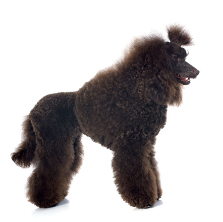 beautiful brown poodle in front of a white background Stock Photo - 23422164