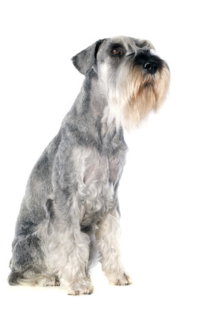 standard schnauzer in front of white background Stock Photo - 23422167