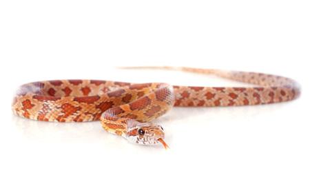 constrictors: corn snake, elaphe guttata in front of white background