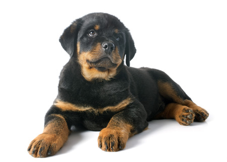 portrait of a purebred puppy rottweiler in front of white background Stock Photo - 23422170