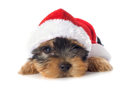 puppy yorkshire terrier in front of white background Stock Photo - 23422191