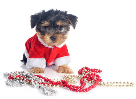 puppy yorkshire terrier in front of white background Stock Photo - 23422195