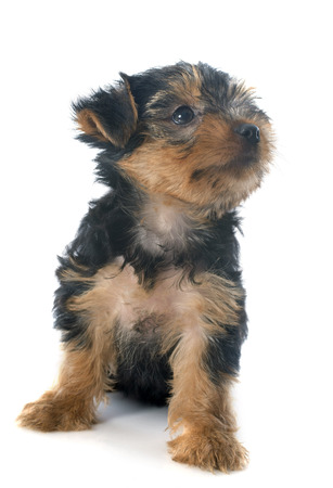 puppy yorkshire terrier in front of white background Stock Photo - 23422194