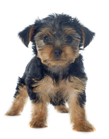puppy yorkshire terrier in front of white background Stock Photo - 23422196