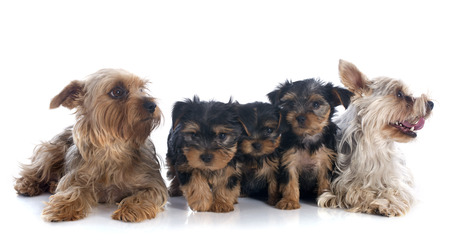 family yorkshire terrier in front of white background Stock Photo - 23580185