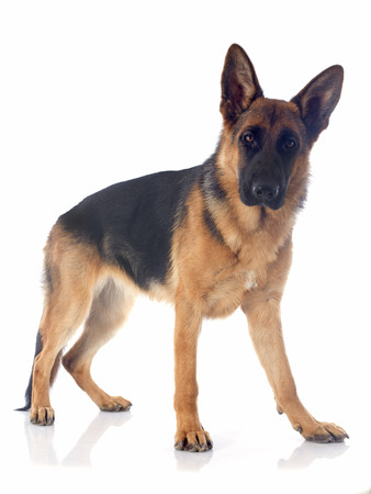 portrait of a  purebred german shepherd in front of white background Stock Photo - 23580187