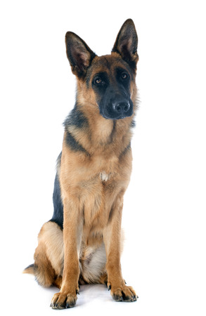 portrait of a  purebred german shepherd in front of white background Stock Photo - 23580189