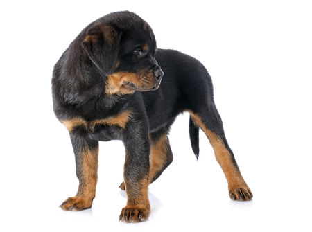 portrait of a purebred puppy rottweiler in front of white background Stock Photo - 23580249