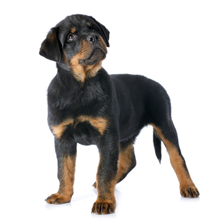 portrait of a purebred puppy rottweiler in front of white background Stock Photo - 23580253