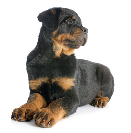 portrait of a purebred puppy rottweiler in front of white background Stock Photo - 23580254