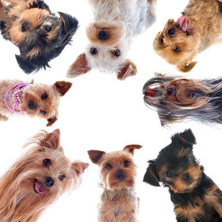 portrait of a purebred yorkshire terriers in front of white background Stock Photo