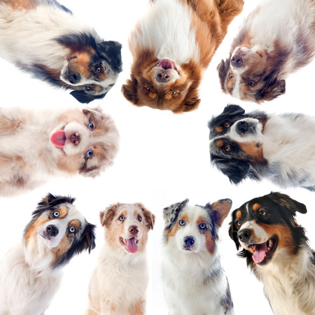 purebred: purebred australian shepherds  in front of white background