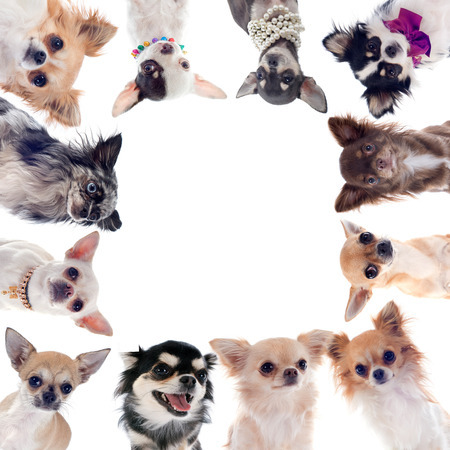 group of chihuahua in front of white background Stock Photo - 23637670