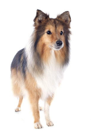 portrait of a purebred shetland dog in front of white background Stock Photo - 23637671