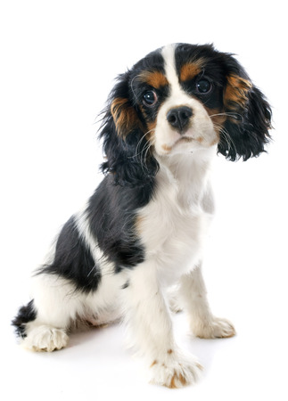young blenheim cavalier king charles in front of white background Stock Photo - 23637672