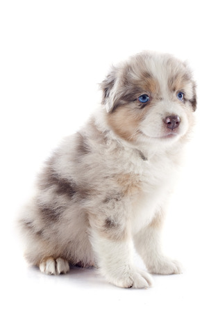 purebred puppy australian shepherd  in front of white background Stock Photo - 23637673