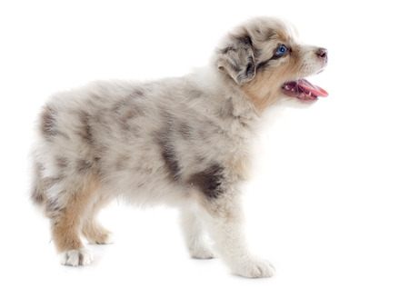 purebred puppy australian shepherd  in front of white background Stock Photo - 23637674