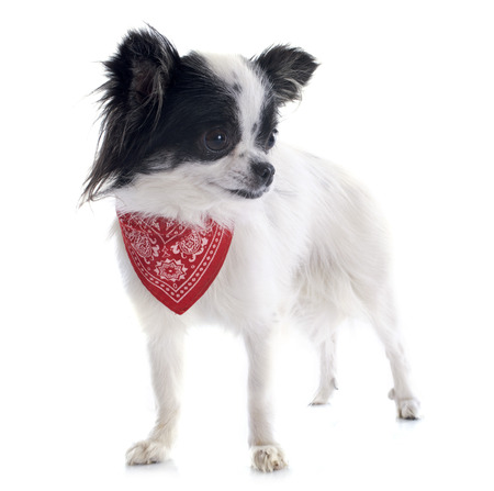 portrait of a cute purebred  chihuahua in front of white background Stock Photo - 23637677