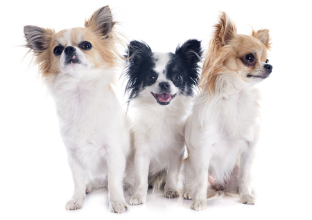 three chihuahuas in front of white background Stock Photo - 23637441