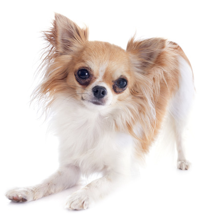 playing chihuahua in front of white background Stock Photo - 23637447