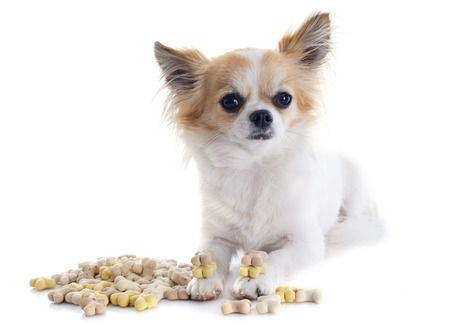 chihuahua and dog food in front of white background Stock Photo - 23637449