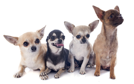 four chihuahuas in front of white background Stock Photo - 23637450