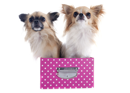 chihuahuas in box in front of white background Stock Photo - 23637451