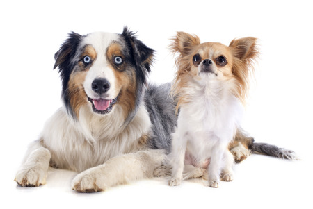 purebred australian shepherd and chihuahua in front of white background Stock Photo - 23637453