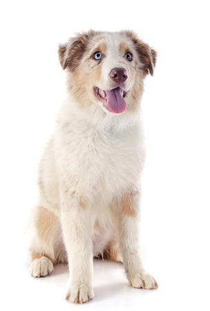 purebred australian shepherd  in front of white background Stock Photo - 23637455