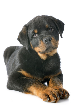 portrait of a purebred puppy rottweiler in front of white background Stock Photo - 23637281