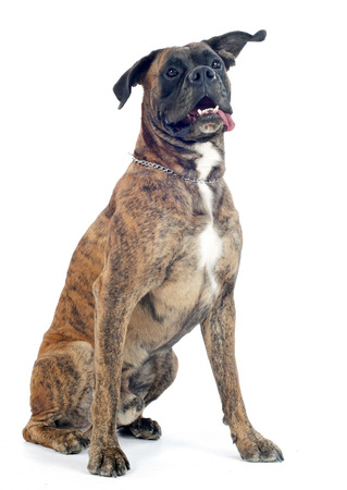 brindle: brown boxer in front of a white