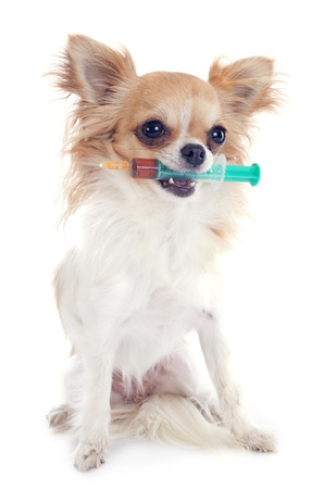 vaccinations: chihuahua and syringe in front of white