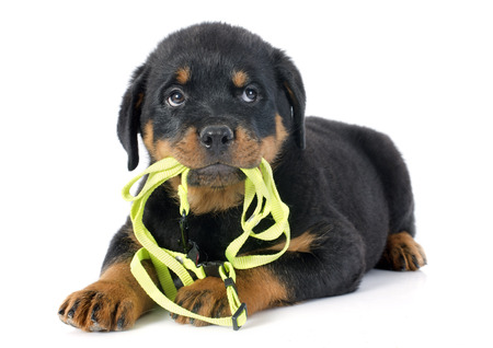leash: puppy rottweiler and leash in front of white background
