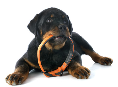 head collar: portrait of a purebred puppy rottweiler in front of white