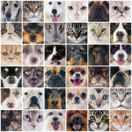 mujer perro: grupo de perros de raza pura y gatos en una fotograf�a montage