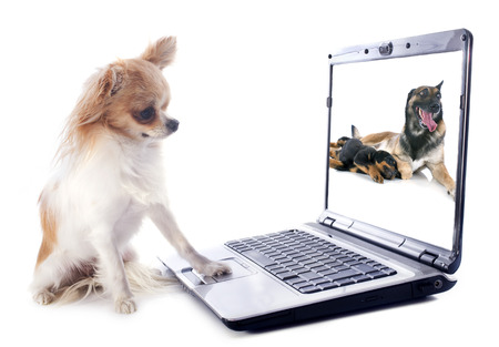 portrait of a cute purebred  chihuahua and computer in front of white background Stock Photo