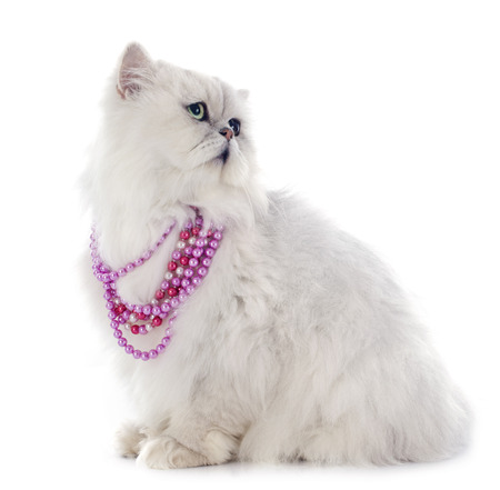 white persian cat in front of white background photo