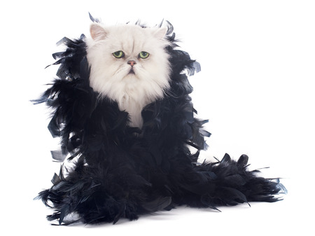 black boa: white persian cat and boa in front of white background