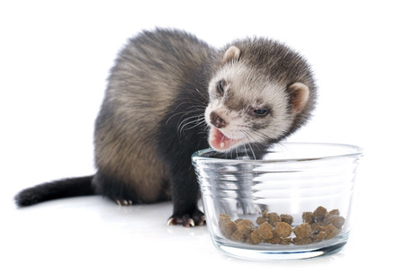 eating brown ferret in front of white background photo