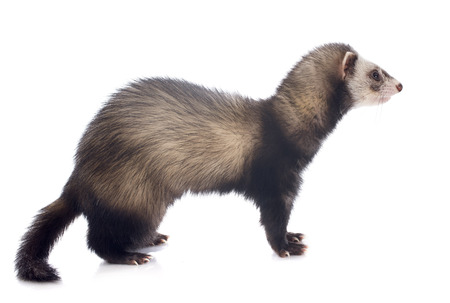 brown ferret in front of white background Stock Photo