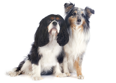 portrait of a purebred shetland dog and cavalier king charles in front of white background photo