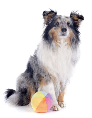portrait of a purebred shetland dog in front of white background photo