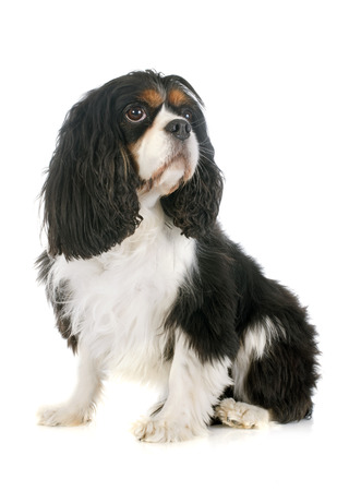 young cavalier king charles in front of white background photo