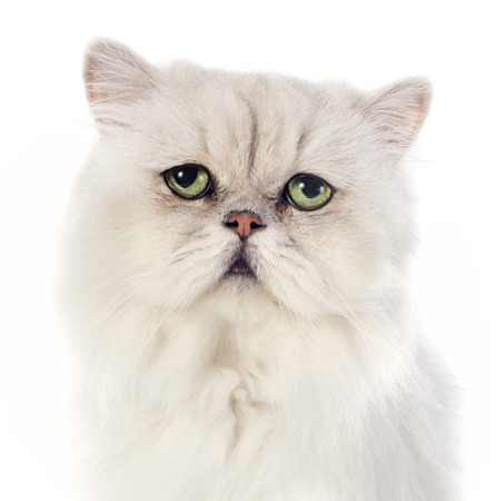 white persian cat in front of white background Stock Photo