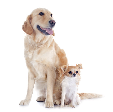 retriever: purebred golden retriever and chihuahua in front of a white background Stock Photo