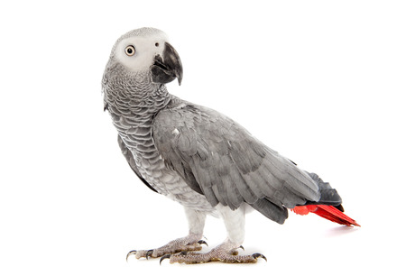 african grey parrot: African Grey Parrot ,Psittacus erithacus in front of white  Stock Photo