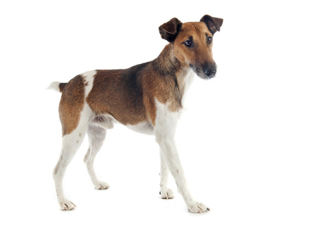 portrait of a purebred smooth fox terrier in front of white