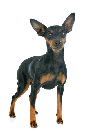 pinscher: purebred miniature pinscher in front of white