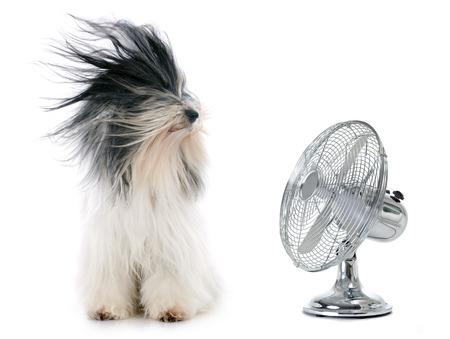 24315940-terrier-tib-tain-et-le-ventilateur-en-face-de-fond-blanc